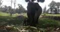 Kabar Gembira dari PLG Minas, Gajah Sumatera Korban Jerat Melahirkan Bayi Betina