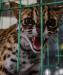 BBKSDA Riau Selamatkan 1 Kucing Hutan dan 3 Musang dari Pengusaha Hiburan
